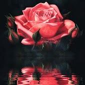 Red Rose reflected LWP