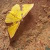 Geometrid moth, male