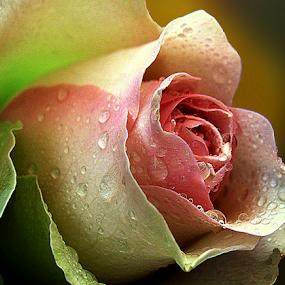 English rose by Biljana Nikolic - Flowers Single Flower ( plant, beautiful flower, rose, nature, rose flower, blooming, beautiful, beauty, bud )