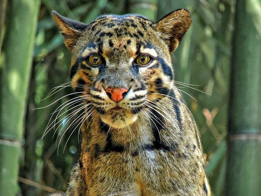 The Stare by Penny McWhirt - Animals Lions, Tigers & Big Cats ( mammals, animals, big cats, nashville zoo, wildlife, clouded leopard, , zoowatch, zoo )