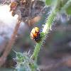 Ladybug pupae