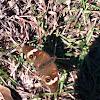 Common Buckeye