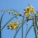 jerusalem thorn, parkinsonia