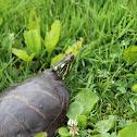 Eastern Painted Turtle (male)