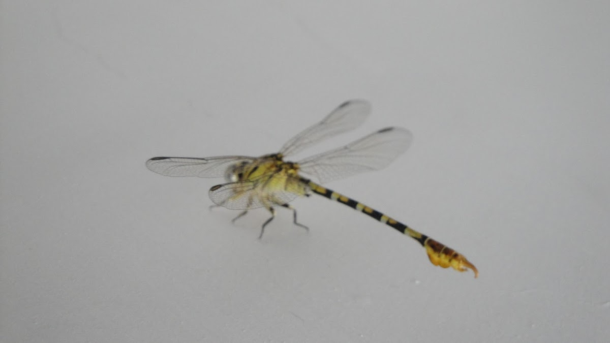 Common Hooktail