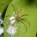 Orange backed Lynx Spider(Female)