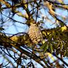 Open pod of silk-floss tree