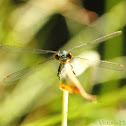 Emerald Damslefly