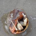 Hermit crab (cangrejo Hermitaño)