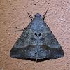 Small Mocis Moth