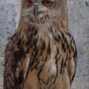Eurasian Eagle-Owl/Velika uharica