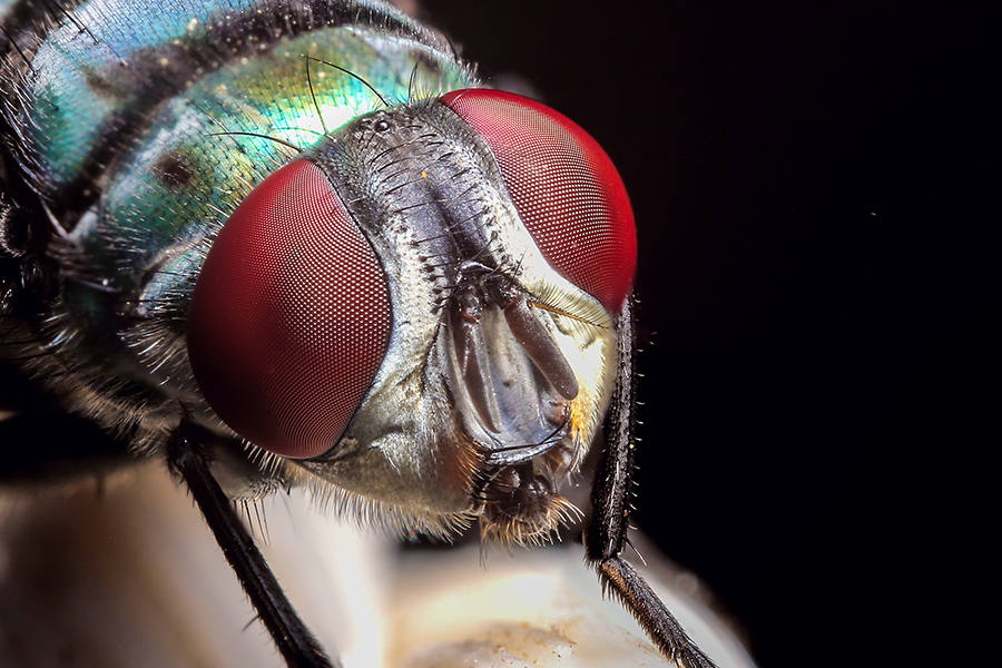Blue fly Eyes by Matt Creation - Animals Insects & Spiders ( fly, blue fly, mattcreation, madagascar )