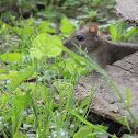 Rat brun ou surmulot