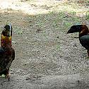 Kalaw/ Rufous Hornbill