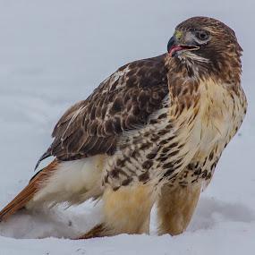 Hawk  by Danny Andreini - Animals Birds