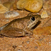 Bumpy Rocket Frog