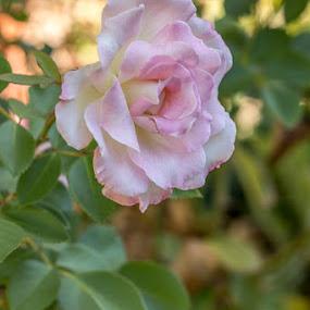 Mum's garden - through my new lense by Jen Thiele - Flowers Single Flower
