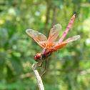 Crimson Dropwing