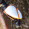 Pelagic gooseneck barnacle; Pie de cabra