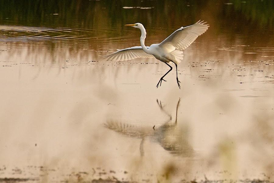 Great Egret dancing by Dan Ferrin - Animals Birds ( bird, nature, wildlife, birds, egret, great egret )