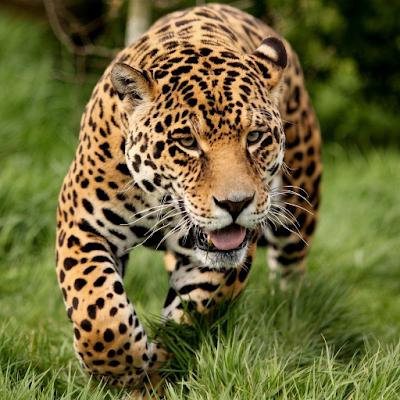 Леопард обои