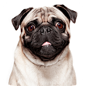 Talking Pug icon