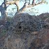 Hammerkop (Nest)