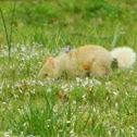 Blonde Eastern Gray Squirrel (leucistic)