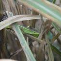 北草蜥 / Ocellated six-lined grass lizard