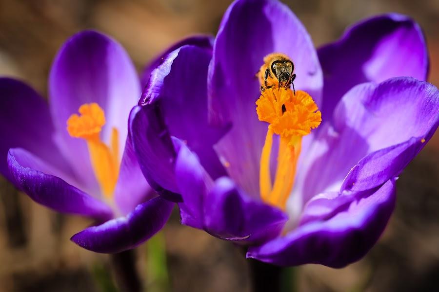 Bloom and Bee by Roberta Janik - Flowers Flower Gardens ( bees, spring flower, pollen, spring bulb, pollenation, spring bloom, spring garden, flower )