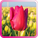 Tulip Background Wallpapers icon