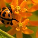 Lady Beetle (Orange)