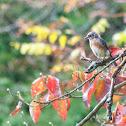 Eastern Blubird