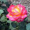 Hybrid Tea Rose 'Perfect Moment'
