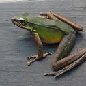Poisonous Rock Frog