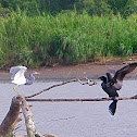 Tricolor Heron and Neotropical Cormorant
