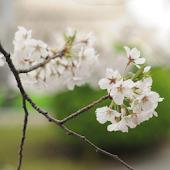 桜の花 壁紙 無料版FREEフリー