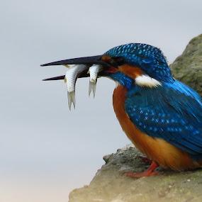 Breakfast by Kishan Meena - Animals Birds ( nature, fish, kingfisher, wildlife )