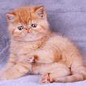 Garfield cat puzzle icon
