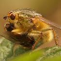 Scatophaga species
