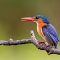 Kingfisher (1 of 1).jpg