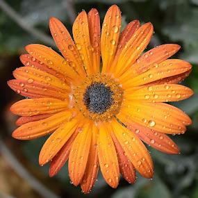 Rain Drops Keep Fallin' On My....Flower by Ed Hanson - Flowers Single Flower ( water, orange, nature, close-up, flower )