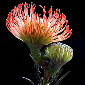Double Vision by Martha van der Westhuizen - Nature Up Close Other plants ( fynbos, red, pincushion, double bloom, protea, close-up,  )