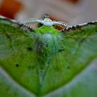 Emerald Moth