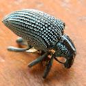 Entimus Weevils