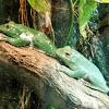 Green Flying Frog