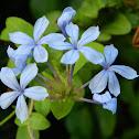 Blue plumbago (Πλουμπάγκο)