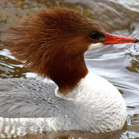 I'm Holding by Ed Hanson - Animals Birds ( bird, pose, red, nature, merganser, head )