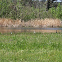 Blue Heron and White Herons (Great Egrets)