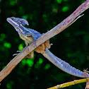 Jesus Christ Lizard (Basilisk)
